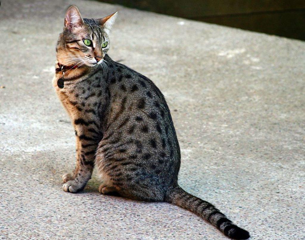 Chat tigré robe mackerel tabby