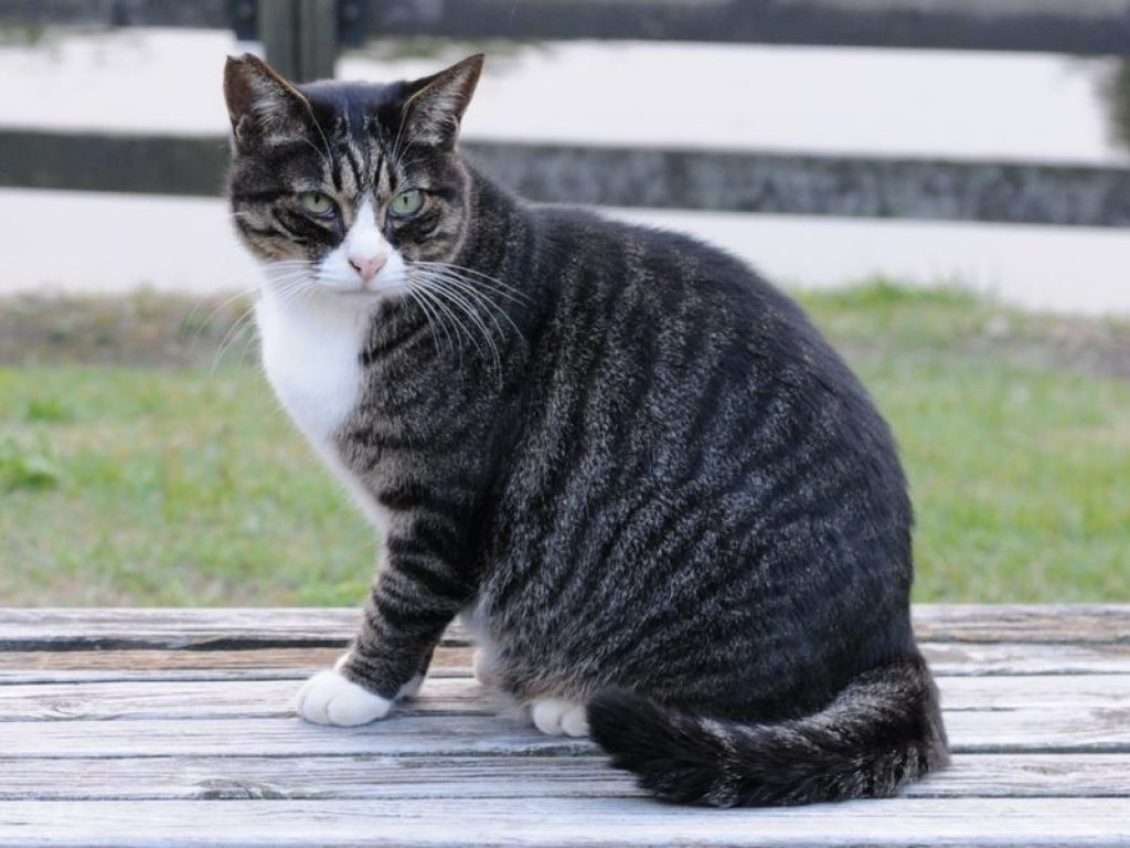 Chat tigré robe spotted tabby