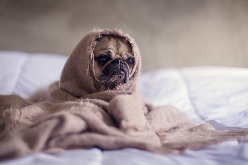 Petit chien dorloter dans une couverture sur un lit