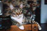 Chat tigré : Ce que vous devez savoir sur ce pelage commun et mystérieux
