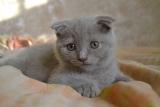 6 des plus belles races de chats au pelage gris